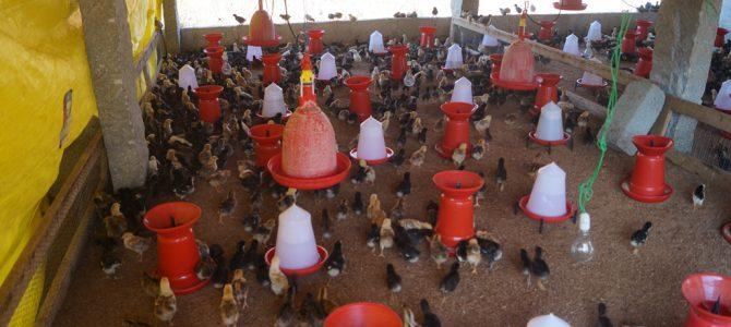 Natti Chicken Farming